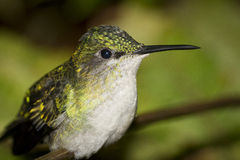 ritratto Viola-ricoperto del colibrì del woodnymph Fotografie Stock Libere da Diritti
