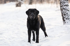 Ritriever Labrador Royalty Free Stock Image