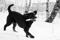 Ritriever Labrador Stock Photo