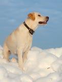 Ritriver Labrador Royalty Free Stock Photo