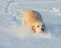 Ritriver Labrador Stock Photography
