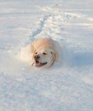 Ritriver Labrador Royalty Free Stock Photography