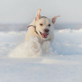 Ritriver Labrador Stock Image