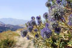 Ritro do Echinops em um fundo das montanhas imagem de stock royalty free