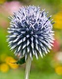 ritro echinops Стоковые Изображения RF