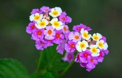 Ritrovamento grazioso di Camara Flowers della lantana in Giamaica Fotografie Stock