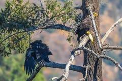 Ritrovamento raro Eagle Family calvo americano nella L A & x28; Dopo il pesce Hunt& x29; Fotografie Stock