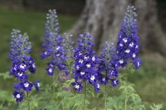 """Rittersporn Blume """"dunkelblauen weißen BeeÂ"""", die auf unscharfem Hintergrund blüht stockbilder"""