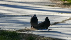 Ritual of courtship two pigeons in the breeding season stock video footage