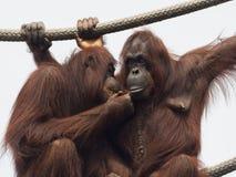 Ritual de preparación y de comunicación del orangután Imagen de archivo