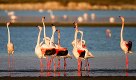 Ritual of Flamingos Royalty Free Stock Photo