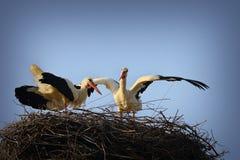Rituel de accouplement de cigogne blanche Images stock