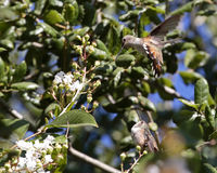 Rituel de accouplement de colibri Images stock
