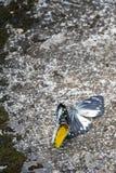 Rituel de accouplement de papillon Images libres de droits