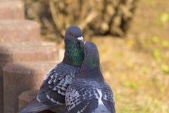 Rituel de cour des pigeons Photo stock