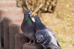 Rituel de cour des pigeons Image stock