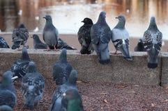 Riunione del piccione immagine stock