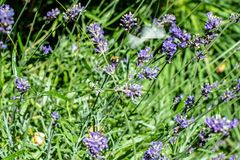 Riunione dell'ape sulla fioritura della lavanda Fotografia Stock Libera da Diritti