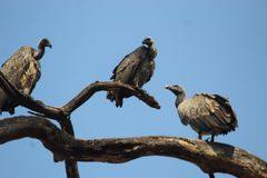 Riunione dell'avvoltoio indiano in un albero fotografia stock libera da diritti