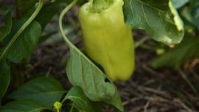 Riunire peperone dolce nel giardino stock footage
