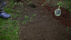 Riunire suolo intorno ai mirtilli con i rastrelli archivi video