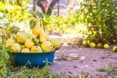 Riunisca il raccolto delle pere nel giardino nella vecchia ciotola Fotografia Stock Libera da Diritti