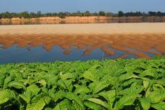 Riva del fiume del Mekong dell'azienda agricola del tabacco Fotografia Stock Libera da Diritti