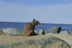 Riva dell'oceano California dello scoiattolo Immagini Stock