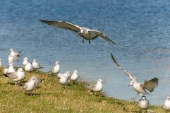 rivage de mouettes d'atterrissage Photo libre de droits