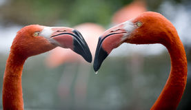 Rival Flamingos Stock Photography