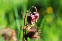 Rivale del Geum, avens di acqua, fioritura del fiore del avens porpora Fotografia Stock