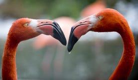 Rivaliserande Flamingos Arkivbild