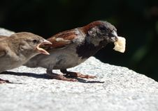 Sparrows fight for a big crumb. Rivalry is the basis of progress and survival. Sparrows fight for a big crumb of bread royalty free stock photos