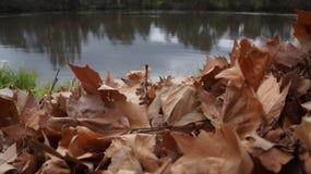 Rive d'ordures de feuilles de chêne au Nouvelle-Zélande Photographie stock