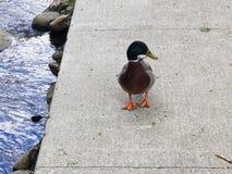 Rive orange Gatlinburg d'oiseau de bec de pied de rivière de canard images libres de droits