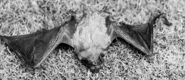 Rivelatore del pipistrello Pipistrello brutto Manichino del pipistrello selvaggio su erba Natura selvaggia Forelimbs adattati com immagini stock libere da diritti