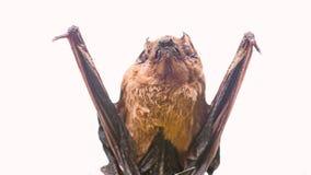 Rivelatore del pipistrello Manichino del fondo bianco del pipistrello Pipistrello brutto Forelimbs adattati come ali Museo della  immagini stock libere da diritti
