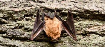 Rivelatore del pipistrello Manichino del fondo di legno del pipistrello Pipistrello brutto Forelimbs adattati come ali Museo dell fotografia stock libera da diritti
