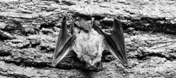 Rivelatore del pipistrello Manichino del fondo di legno del pipistrello Pipistrello brutto Forelimbs adattati come ali Museo dell immagine stock libera da diritti