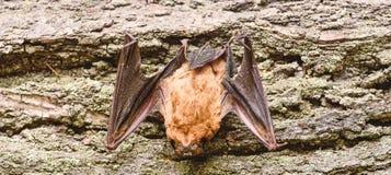 Rivelatore del pipistrello Manichino del fondo di legno del pipistrello Pipistrello brutto Forelimbs adattati come ali Museo dell fotografia stock