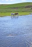River. Side and two calfs on distant plan Stock Image