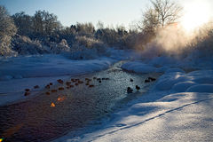 River. Ducks lying together on a frozen river Royalty Free Stock Image