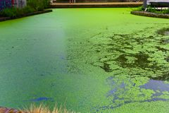 River cover with green algae stock photo