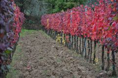 Harvest  Tuscany autumn colors  vineyard chianti Stock Photography