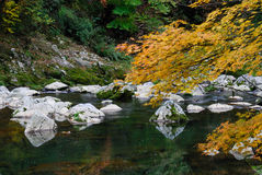 River in autumn forest. Scenic view of river in forest with leafy autumn tree in foreground Stock Images