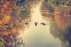 The river in autumn. Autumn landscape, the family of ducks on the river Stock Photography