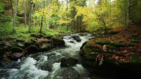 River in autumn with nature sounds. Mountain river in autumn in forest with nature sounds stock video footage