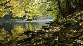 River in autumn under maple trees stock video footage