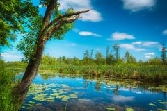 A beautiful marsh landscape with reeds. Nobody. River backwater with water lilies in the water and on the shore of an old tree. Landscape. Nobody Stock Photos