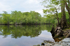 River Bank Forest Reflection, Black River NC. Forest reflection in the water as seen from the river bank Stock Photos